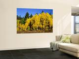 Aspens in Fall  Rocky Mountain National Park  Colorado  USA