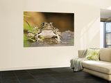 Leopard Frog Sunning By Pond  Central Texas  USA