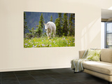 Mountain Goat in Wildflower Meadow  Logan Pass  Glacier National Park  Montana  USA