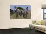 Common Zebra  Masai Mara National Reserve  Kenya