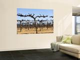 Vineyard Grape Vines