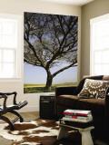 Acacia Raddiana Tree by Besor Scenic Road