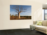 Boab (Adansonia Gregorii) in Dry Season When Tree Is Deciduous  Calder River  West Kimberley