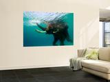 Male Indian Elephant (Elephas Maximus Indicus) Swimming Underwater