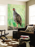Red-Necked Spurfowl (Red-Necked Francolin)