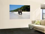 Indian Elephant (Elephas Maximus Indicus) Striding Along White Sand of Radhanagar Beach