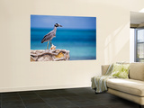 Adult Yellow-Crowned Night-Heron at Barracuda&#39;s  Cape Eleuthera