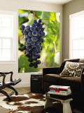 Wine Grapes Hanging from Vine