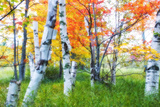 Dreamy Autumn Birches