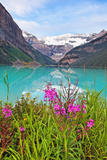 Fireweed at Lakeside  Lake Louise  Canada