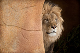 Lion Emerging-captive