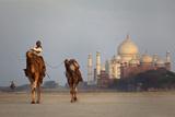 Taj Mahal Camels