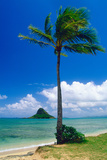Kaneohe Bay Palm Tree  Hawaii