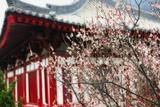 Japanese Plum Tree Blossom