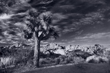 Joshua Tree Sunrise BW