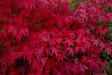 Acer Autumn