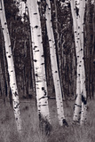 Aspen Forest Arizona BW