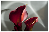 Zantedeschia - Red