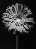 Red Gerbera in Black and White