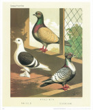 Cassell's Pigeon Book I