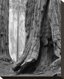 Sequoia Trunks and Beams II