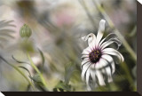 Silver Daisy I