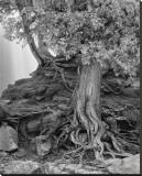 Gooseberry Tree Black and White