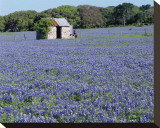 Bluebonnets Shed