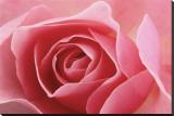Rose Pink I