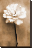 White Rose in Sepia
