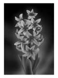 Hyacinth Mono