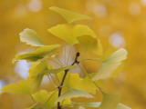 Ginkgo