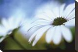 Daisy Blue II