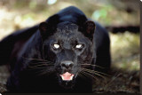 Black Panther Close-Up