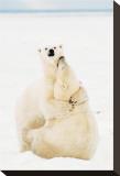 Playful Polar Bears