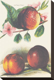 A Study of Nectarines