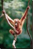 Orangutan Baby