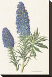 Echium Fastuosum