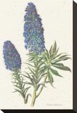 Echium Fastuosum