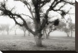 Oak Tree in the Fog