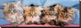 Cats Under Blanket