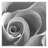 Rose Spiral II