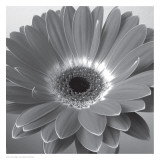 Glowing Gerbera
