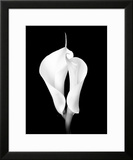 Two White Calla Lilies