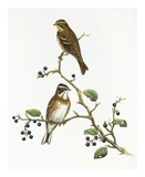 Emberiza Rustica