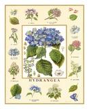 Bontanica Hydrangea