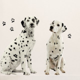 Dalmatiens