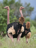 Two Male Maasai Ostriches in Breeding Plumage in Kenya S Tsavo West National Park
