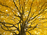 Beech Tree in Autumn  Surrey  England
