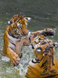 Tigers Play Fighting in Water  Indochinese Tiger or Corbett's Tiger (Panthera Tigris Corbetti)